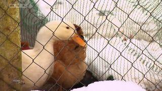 VIDEO - Seoska idila kod domaćice Dubravke: Imanje s guskama i patkama te šuma u blizini (thumbnail)