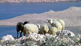 Pag, ovce, janjetina, foto: www.limun.hr