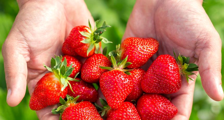 Vrgoračke jagode dobile konkurenciju sa polja u Zemuniku