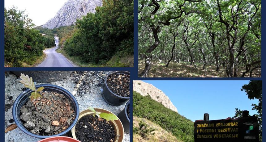 U Pagu pokrenuta akcija za spas crnike i sadnju hrasta medunca