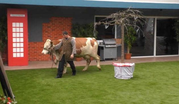 U BB kuću ušla nova stanarka - krava (thumbnail)