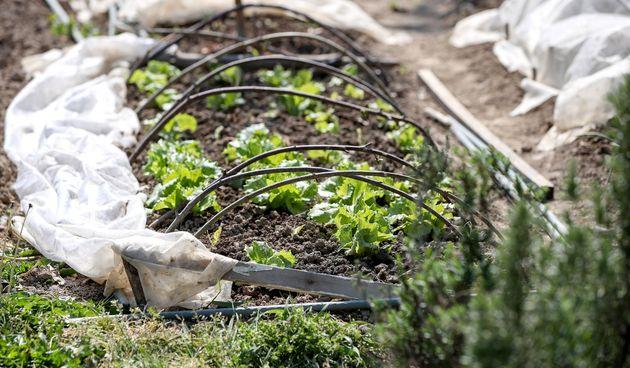 urbani vrtovi salata vrt