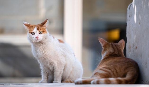 Jedan od komunalnih problema slabo spominjanih u kampanji je onaj nekastriranih mačaka u gradovima i općinama - volonteri kandidatima ukazali na njega