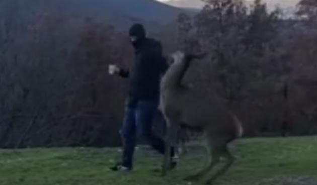 """""""Srna tuče huligane"""": Video iz Dalmacije postao hit na društvenim mrežama"""