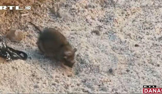 Veliki štakor uznemirio je kupače u Selcu: Građani i turisti branili su se papučama i prostirkama za plažu, svladala ga hrabra konobarica