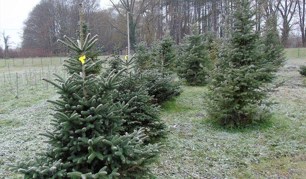 Rasadnik tvrtke Zelenilo nudi veliki izbor božićnih drvaca!