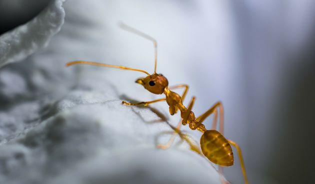 žuti mravi