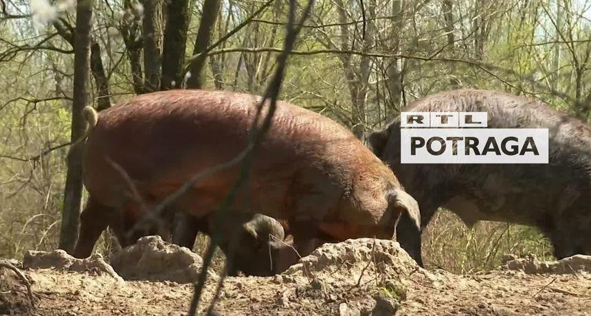 Potraga donosi priču o vlasniku farme koji krši baš sva pravila: Na užas stručnjaka, pušta svinje da trče gdje god ih volja