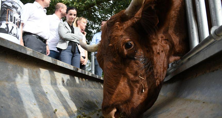 Uzgajivači Salers goveda dobili svoj centar, Zadarska županija treća po broju uzgajanih grla