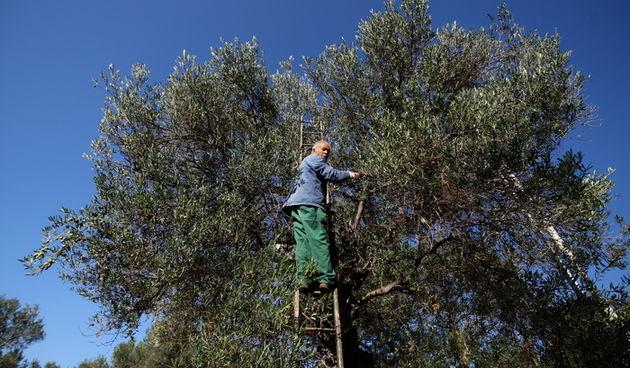 Pag, Lun, 221012. Berba maslina u lunskom masliniku koji se nalazi kod mjesta Lun na otoku Pagu. Omedjen je suhozidima, prostire se na 400 hektara i sadrzi oko 80.000 stabala maslina. Najveci je maslinik u Hrvatskoj. U Lunskom masliniku rastu brojne jedin