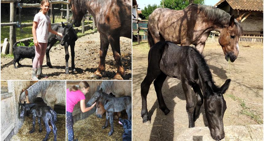 FOTO Sreća u Kotoribi: Oždrijebila se međimurska kobila Sziszi!