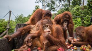 Škola orangutana